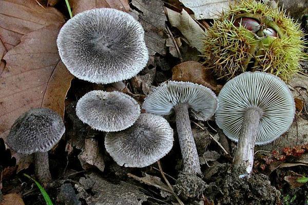 Tricholoma squarrulosum Bres. (COMMESTIBILE) Foto Emilio Pini