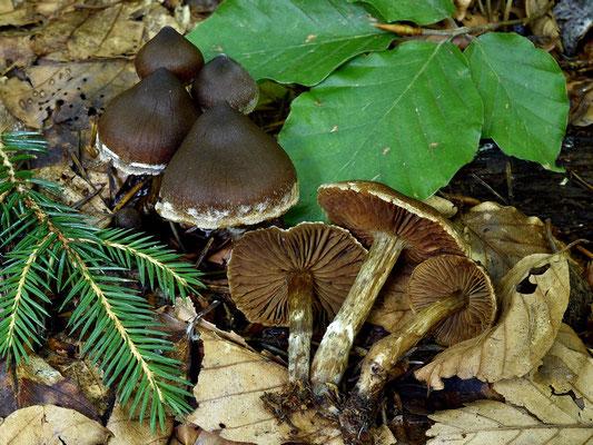 Cortinarius decipiens (Pers.) Fr. (NON COMMESTIBILE) Foto Emilio Pini