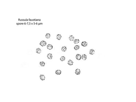 Russula faustiana Sarnari 1992 (COMMESTIBILE) Foto Emilio Pini