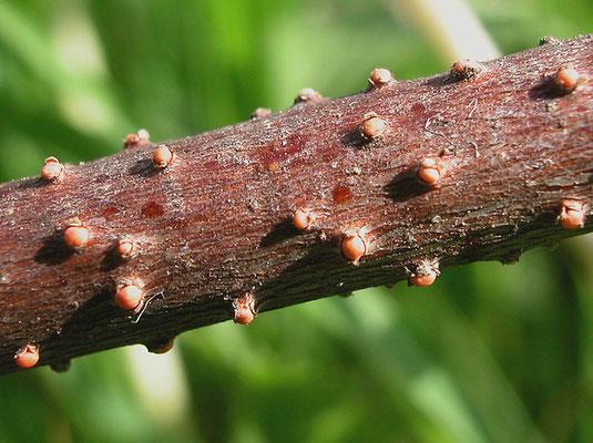 Nectria cinnabarina (Tode) Fr. 1849 (NON COMMESTIBILE) Foto Emilio Pini