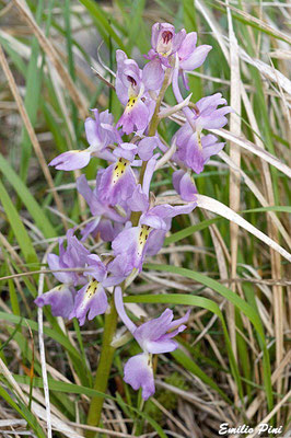 Orchis pauciflora x Orchis mascula