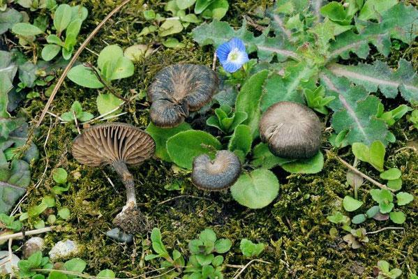 Entoloma rusticoides (Gillet) Noordel.  (NON COMMESTIBILE)  Foto Emilio Pini