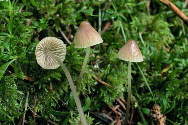 Mycena epipterygia (Scop.) Gray 1821 (NON COMMESTIBILE) Foto Emilio Pini