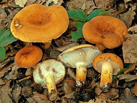 Lactarius volemus (Fr.) Fr. (COMMESTIBILE) Foto Emilio Pini