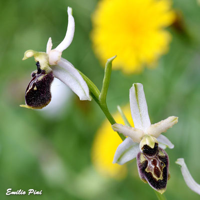 Ophrys montis leonis (Regione Toscana)