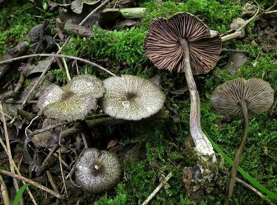 Entoloma scabiosum (Fr.) Quél. (NON COMMESTIBILE)  Foto Emilio Pini