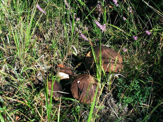 Boletus aereus Bulliard (COMMESTIBILE) Foto Emilio Pini
