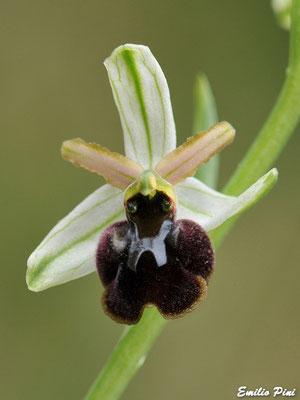 Ophrys panormitana