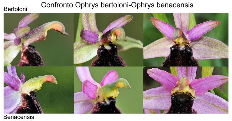 Confronto tra O. bertoloni e O. benacensis