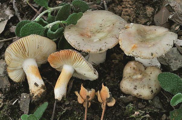 Russula cistoadelpha M.M. Moser & Trimbach 1981 (NON COMMESTIBILE) Foto Emilio Pini