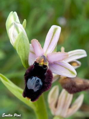 Ophrys bertoloniformis (Regione Puglia)