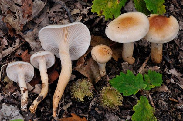 Hygrophorus carpini Gröger (COMMESTIBILE) Foto Emilio Pini