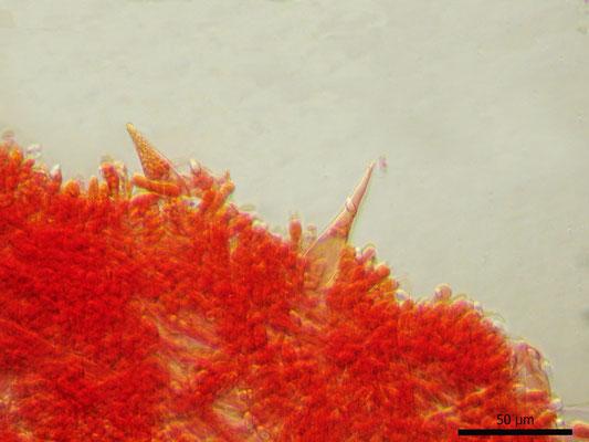 Macrocystidia cucumis (Pers.) Joss. (NON COMMESTIBILE)  Foto Emilio Pini