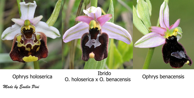 Ophrys holoserica x Ophrys benacensis