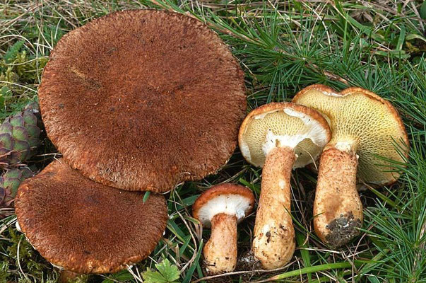 Boletinus cavipes (Opat.) Kalchbrenner (COMMESTIBILE) Foto Emiilio Pini