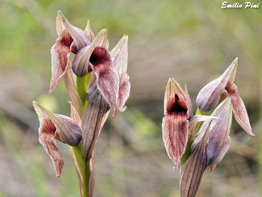 Serapias nurrica (Regione Sardegna)