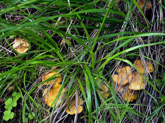 Cantharellus cibarius Fries  (COMMESTIBILE)   Foto Emilio Pini