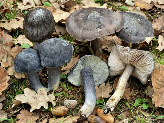 Entoloma bloxamii (Berk. & Broome) Sacc. (COMMESTIBILE)  Foto Emilio Pini