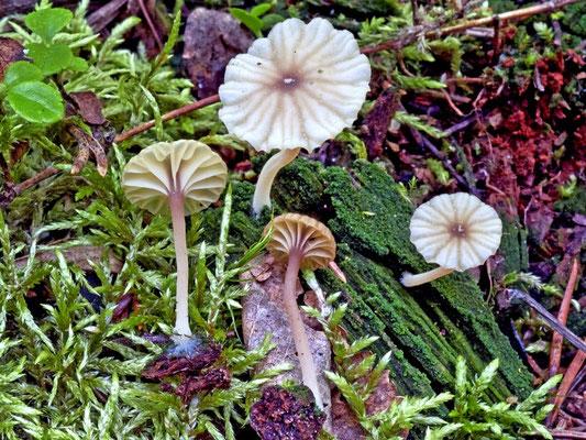 Phytoconis ericetorum (Pers.) Redhead & Kuyper 1988 (NON COMMESTIBILE) foto Emilio Pini