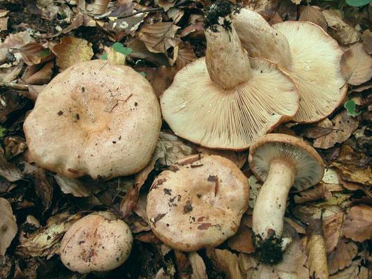 Lactarius pallidus Pers. (NON COMMESTIBILE) Foto Emilio Pini
