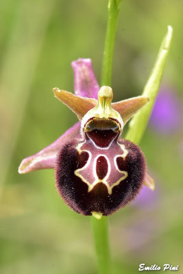 Ophrys majellensis x Ophrys dinarica