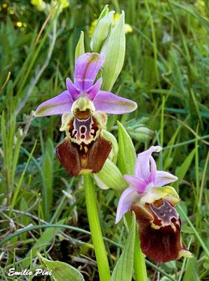 Ophrys apulica (Regione Puglia)