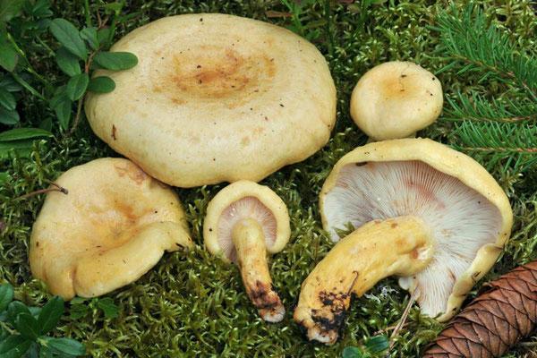 Lactarius flavopalustris Kytöv.  (NON COMMESTIBILE) Foto Emilio Pini