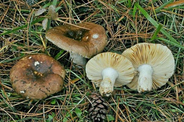 Russula integra (L.) Fr. 1838 (COMMESTIBILE) Foto Emilio Pini