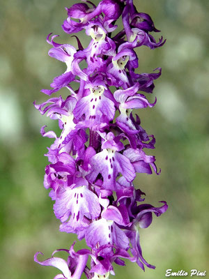 Orchis mascula ssp speciosa