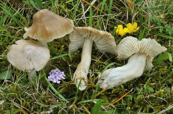 Hygrocybe nitrata (Pers.) Wünsche (NON COMMESTIBILE) Foto Emilio Pini