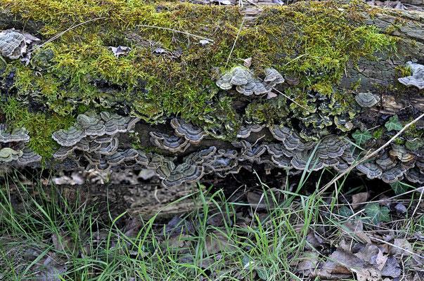 Auricularia mesenterica (Dicks.) Pers. (NON COMMESTIBILE) Foto Emilio Pini