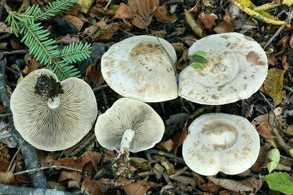 Clitocybe inornata (Sowerby) Gillet (NON COMMESTIBILE)  Foto Emilio Pini