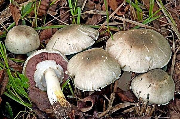 Agaricus xanthodermus var. griseus (A. Pearson) Bon & Cappelli (VELENOSO) Foto Emilio Pini