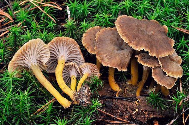 Cantharellus tubaeformis Fries (COMMESTIBILE)  Foto Emilio Pini