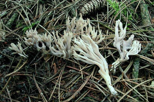 Clavulina cristata (Holmsk.) J. Schröt. (NON COMMESTIBILE)                               Foto Emilio Pini