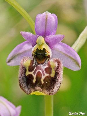 Ophrys annae (Regione Sardegna)