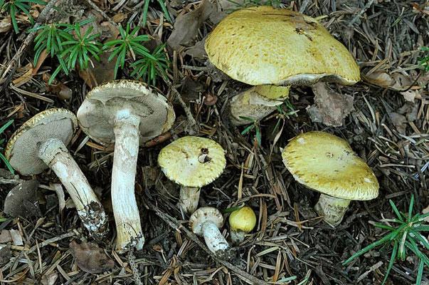Suillus bresadolae f. flavogriseus (Cazzoli & Consiglio) Klofac 2013 (COMMESTIBILE) Foto Emilio Pini