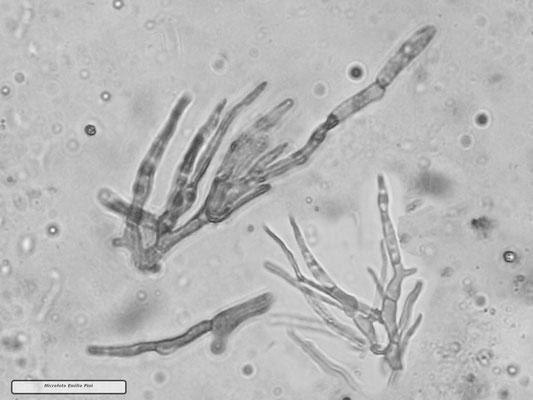 Russula rubroalba var. albrocretacea Sarnari (COMMESTIBILE) Foto Emilio Pini