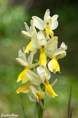 Orchis pauciflora (Regione Toscana)