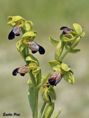 Ophrys fusca subsp funerea (Regione Lombardia)