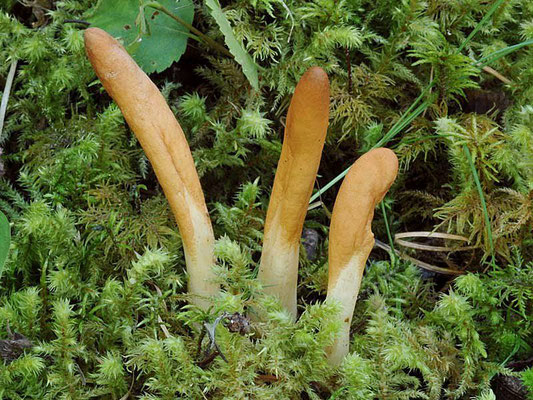 Hypocrea alutacea (Pers.) Ces. & De Not. 1863 (NON COMMESTIBILE) Foto Emilio Pini