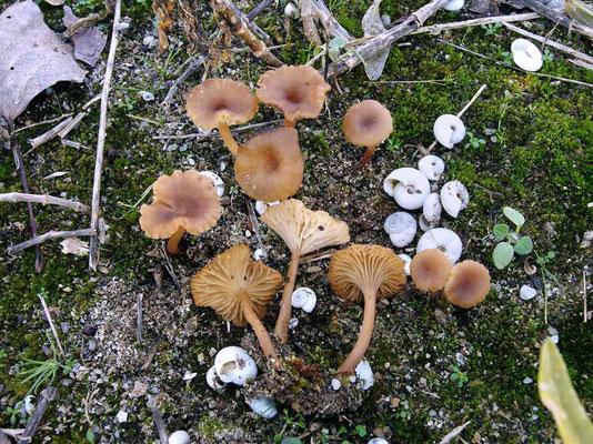 Omphalina galericolor (Romagn.) Bon 1975 (NON COMMESTIBILE) Foto Emilio Pini