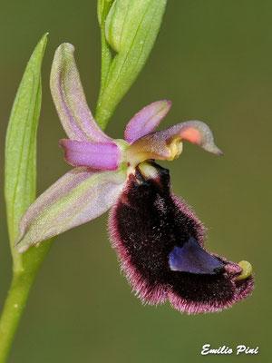Ophrys bertoloni