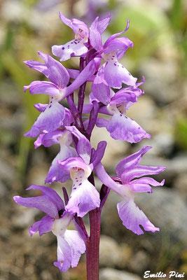 Orchis mascula ssp ichnusae (Regione Sardegna)