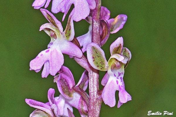 Orchis patens (Regione Liguria)