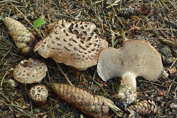 Sarcodon imbricatus (L.) P. Karst. (COMMESTIBILE)  Foto Emilio Pini