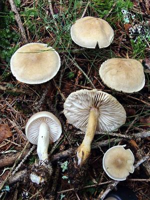 Tricholoma inamoenum (Fr.) Gillet (NON COMMESTIBILE) Foto Emilio Pini