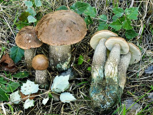 Leccinum duriusculum (Schulzer ex Kalchbr.) Singer  (COMMESTIBILE) Foto Emilio Pini