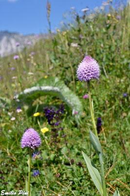 Traunsteinera globosa (Regione Lombardia)