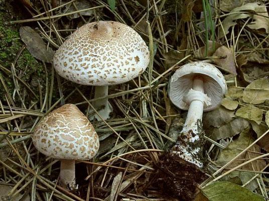Macrolepiota excoriata (Schaeff.) M.M. Moser (COMMESTIBILE) Foto Emilio Pini
